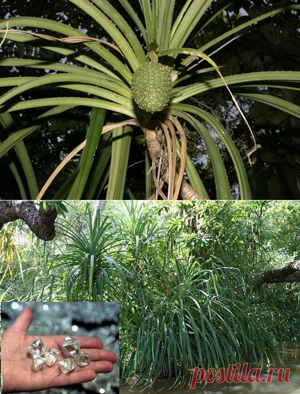 Растение, которое растет только около бриллиантов — Интересные факты