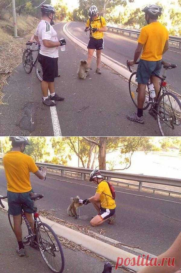 Велосипедисты спасают коалу от жажды. В тот день в Австралии было 40 градусов