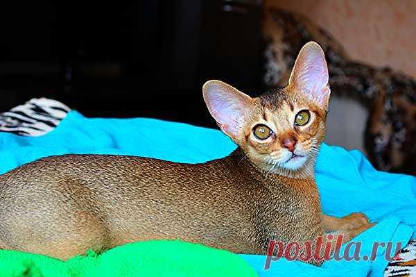 Абиссинский котёнок 4 мес(BUOZI)