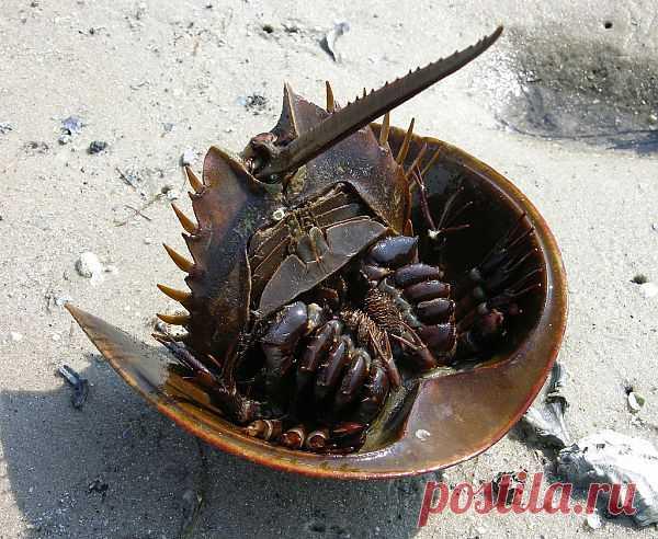 Мечехвост - живое ископаемое из кембрийских времен http://aquariumistika.mirtesen.ru/blog/43629183688