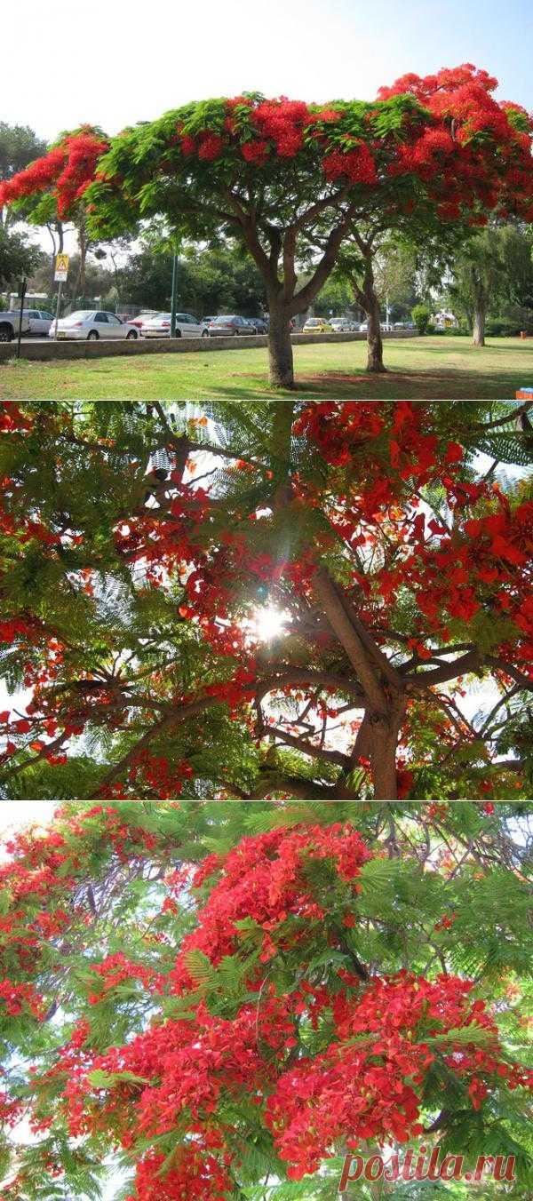 Delonix regia - Делоникс королевский, Огненное дерево
