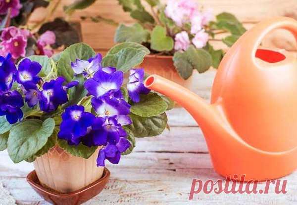 El hidrato de amonio como el abono para las violetas. ¡La receta secreta! | las flores en el apartamento y en la casa de campo – de Radzevsky Victoria | Yandeks Dzen