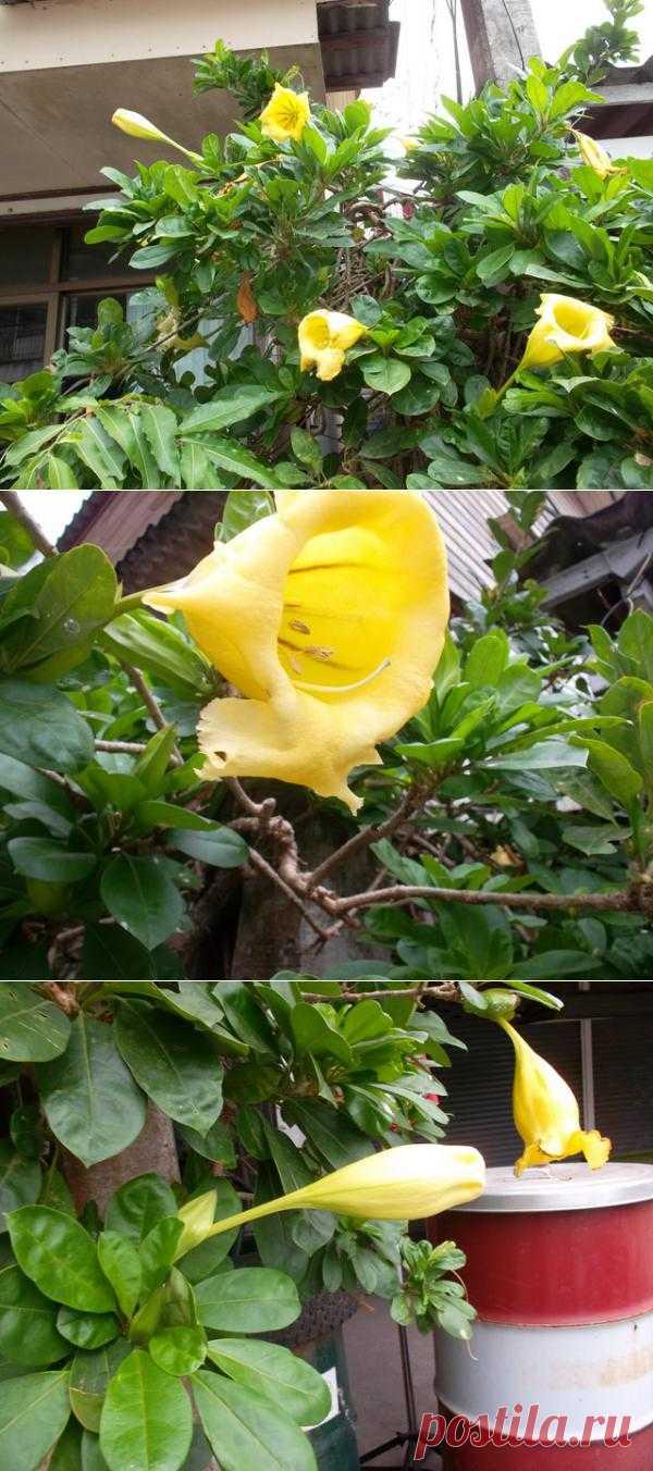 Соландра с большими цветами