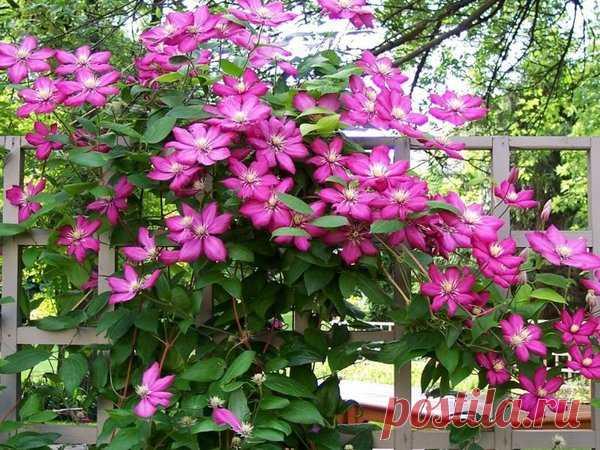 Обильное цветение клематиса – зависть всех соседей. Как добиться? | У-Дачный канал советы от Арины | Яндекс Дзен