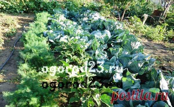 Что можно посадить на огороде в августе
