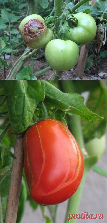 обои помидоры чернеют снизу что делать фото индика широко