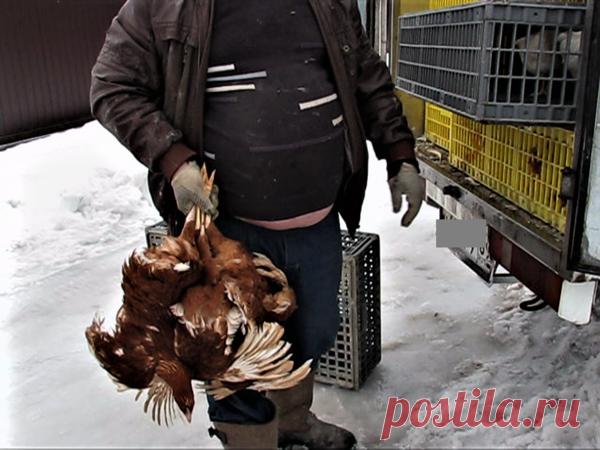 Как купить курицу несушку, чтобы не обманули | Хозяйство Воронова | Яндекс Дзен