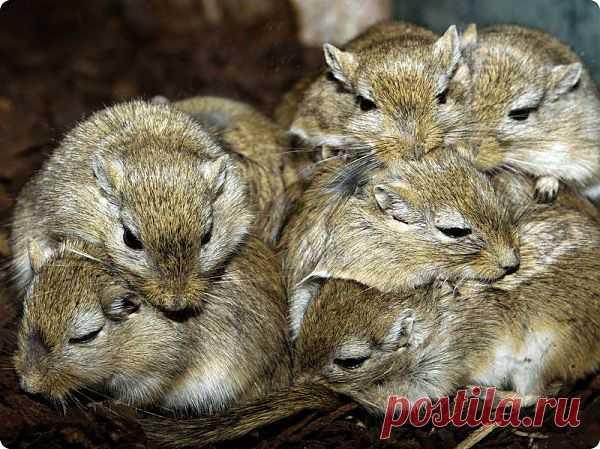 Песчанки любят разнообразие | ZooPicture.ru