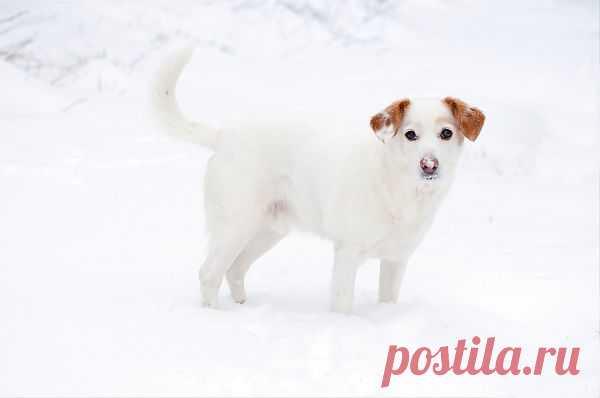 Снежный пёс -   Dog  Free Stock Photo HD - Public Domain Pictures