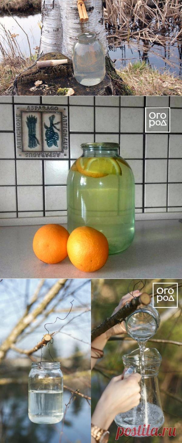 Когда и как правильно собирать березовый сок и чем он полезен | Полезно (Огород.ru)