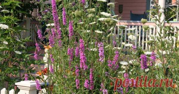 Осторожно! Декоративные растения, которые быстро могут стать сорняками Высаживая новый цветок, мы надеемся, что он будет расти и цвести нам на радость. Увы, некоторые экземпляры развиваются слишком активно и уже скоро начинают вытеснять своих соседей по клумбе.