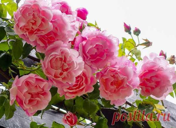 Уникальный метод омоложения роз содой. Секретный рецепт | Цветы в квартире и на даче – от Радзевской Виктории | Яндекс Дзен
