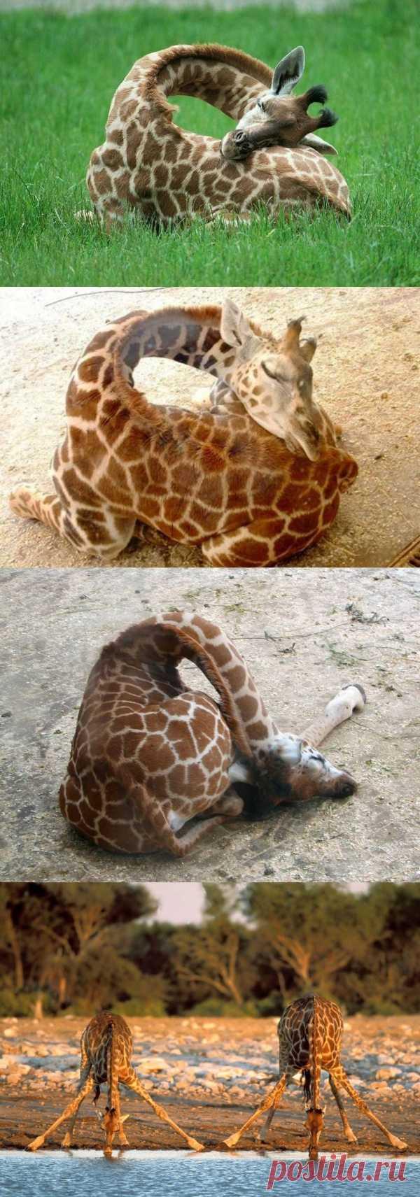 А вы видели, как спят жирафы? А как они пьют воду?