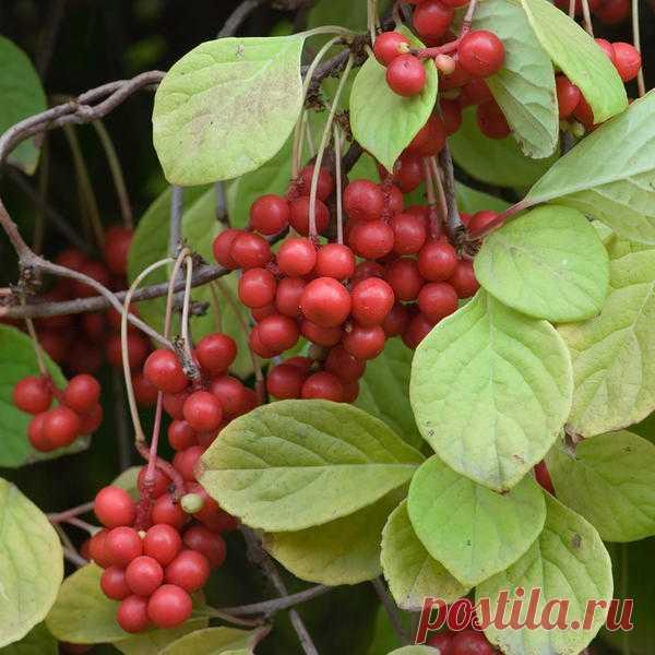 Разбираемся с особенностями выращивания актинидии, лимонника и барбариса | 6 соток