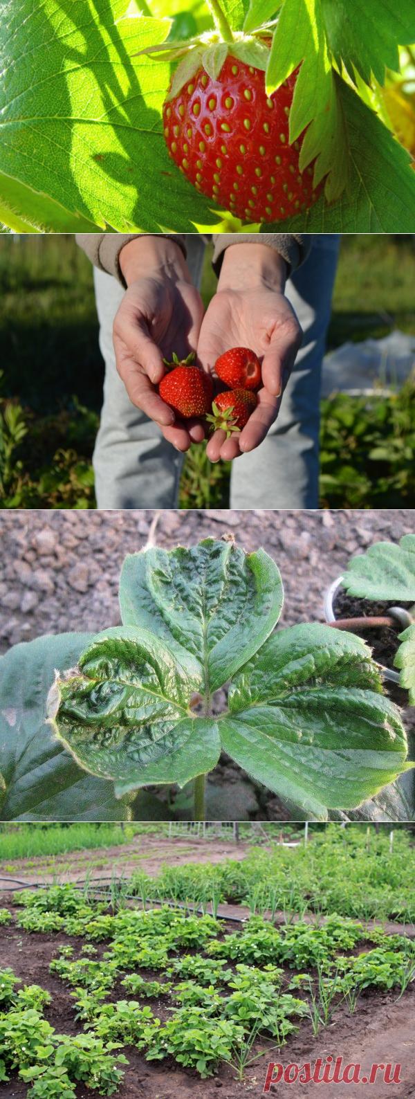 Как ухаживать за клубникой (садовой земляникой) на дачном участке? | Растения
