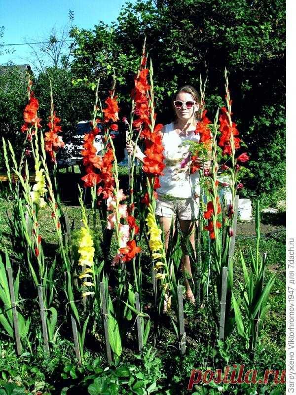 Как вырастить гладиолусы под 2 метра