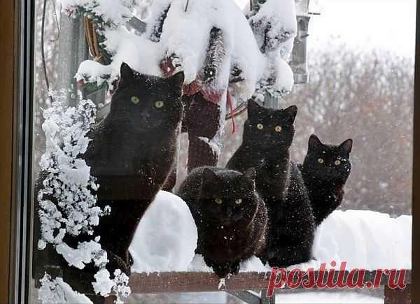 Снежные коты