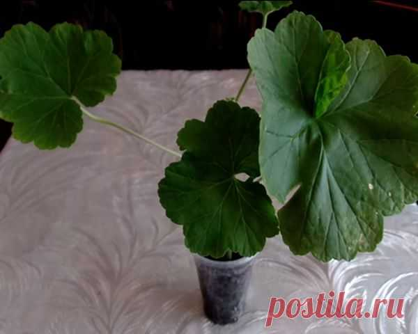 How to put a geranium a shoot without roots: rules