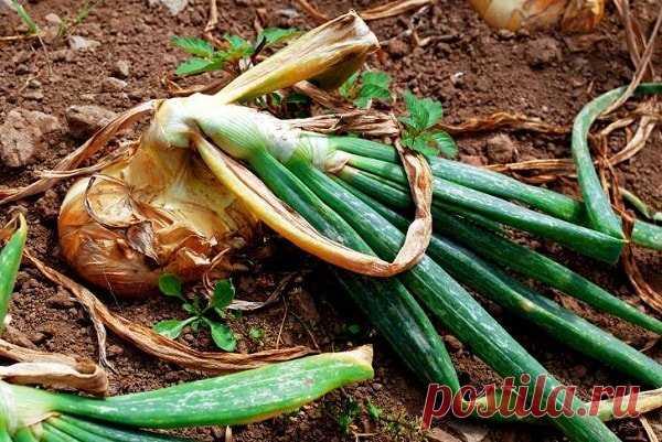 Как избавиться от луковой мухи и сохранить урожай   Твоя усадьба   Яндекс Дзен