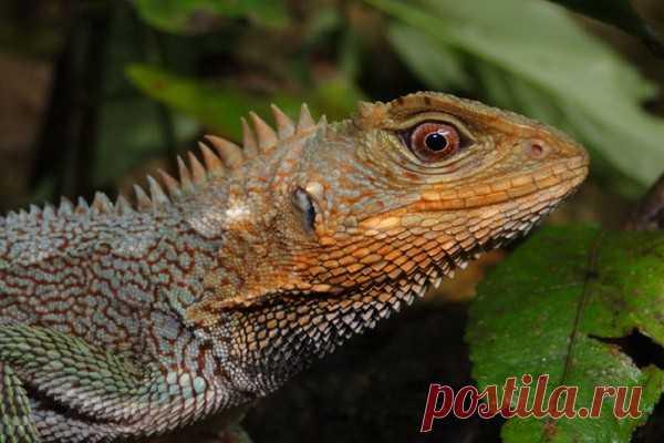 На Амазонке нашли новый вид «драконов» Ученые открыли новый вид драконоподобных ящериц в районе реки Уальяга в Центральном Перу. Статью о ранее неизученном виде ученые из Перуанского университета опубликовали в журнале Evolutionary Systematics. Новый вид назвали Enyalioides feiruzae.Амазонка – самый разнообразный участок Земли...