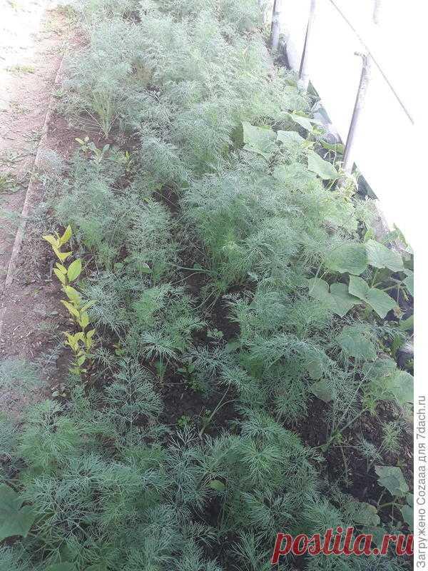 Как вырастить укроп. Советы огородника