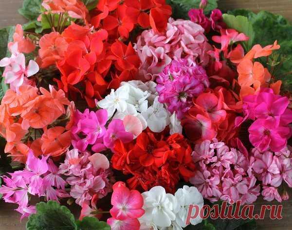 Лучший способ размножения герани: цветущие черенки – Моя дача