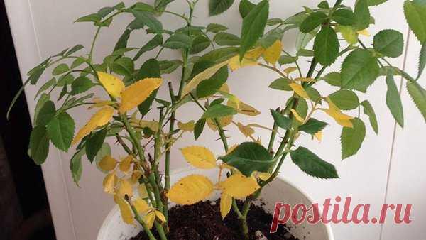 Почему желтеют листья у комнатных растений и что делать | Сорняков.НЕТ | Яндекс Дзен