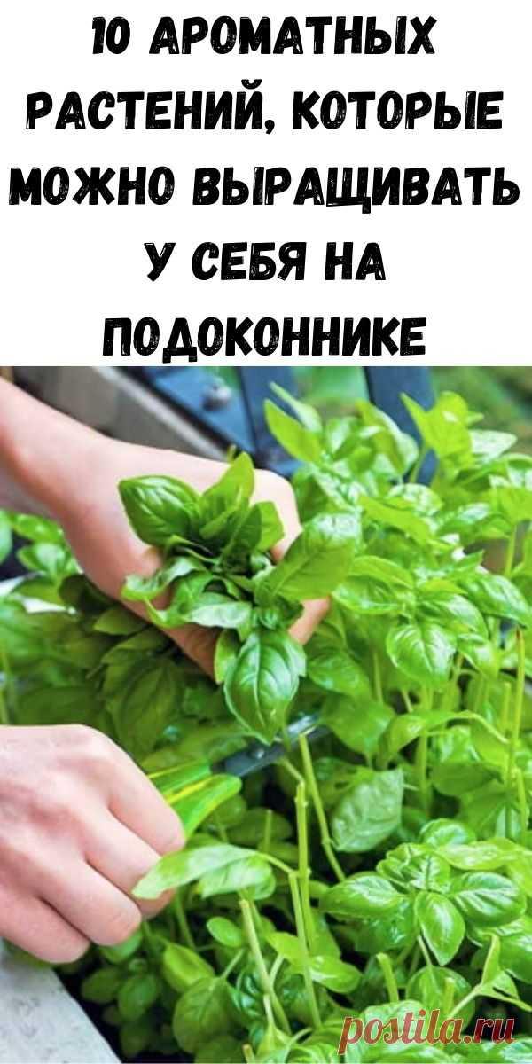 10 ароматных растений, которые можно выращивать у себя на подоконнике - Советы на каждый день