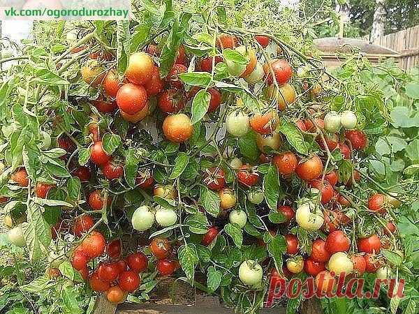 ХОТИТЕ ПОМИДОР? КУПИТЕ...ТРИХОПОЛ!  Садоводы - с тревогой ждем сезона вспышки фитофтороза на помидорных грядках. Более страшной болезни, способной за неделю «спалить» томаты, не существует. Обработав Трихополом посадки помидоров несколько раз за сезон, вы полностью избавитесь от фитофтороза. И освободитесь от опрыскиваний посадок ядохимикатами.  20таблеток Трихопола (более дешевый вариант – таблетки Метронидазола) раствори в 10л воды и 1р в 10дней опрыскивай помидорные пос...