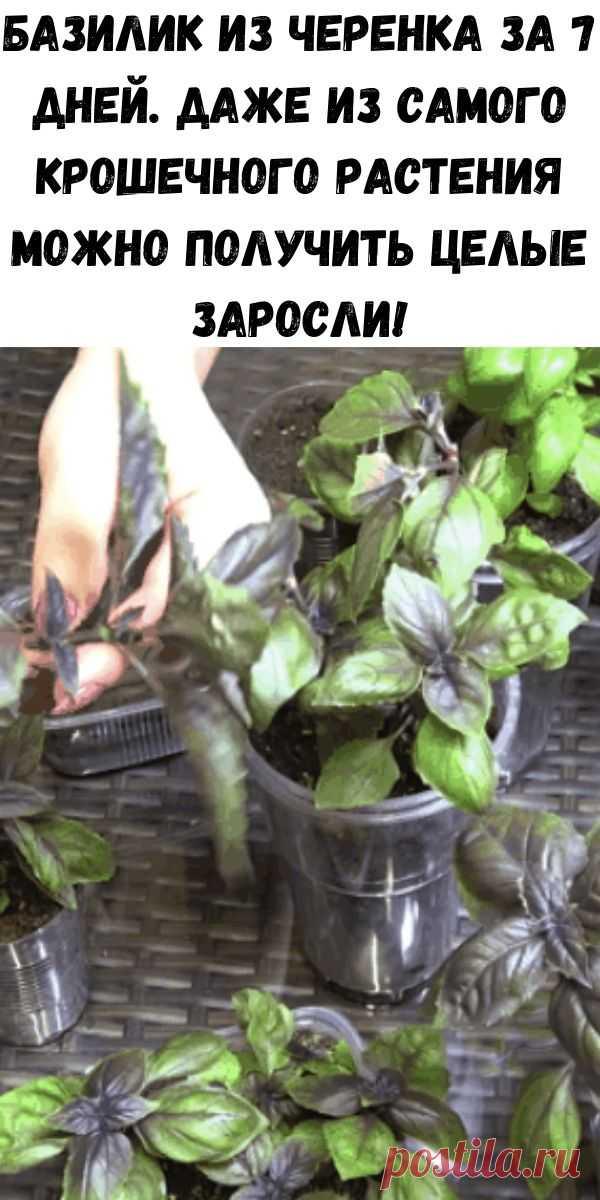 Базилик из черенка за 7 дней. Даже из самого крошечного растения можно получить целые заросли! - Советы для женщин