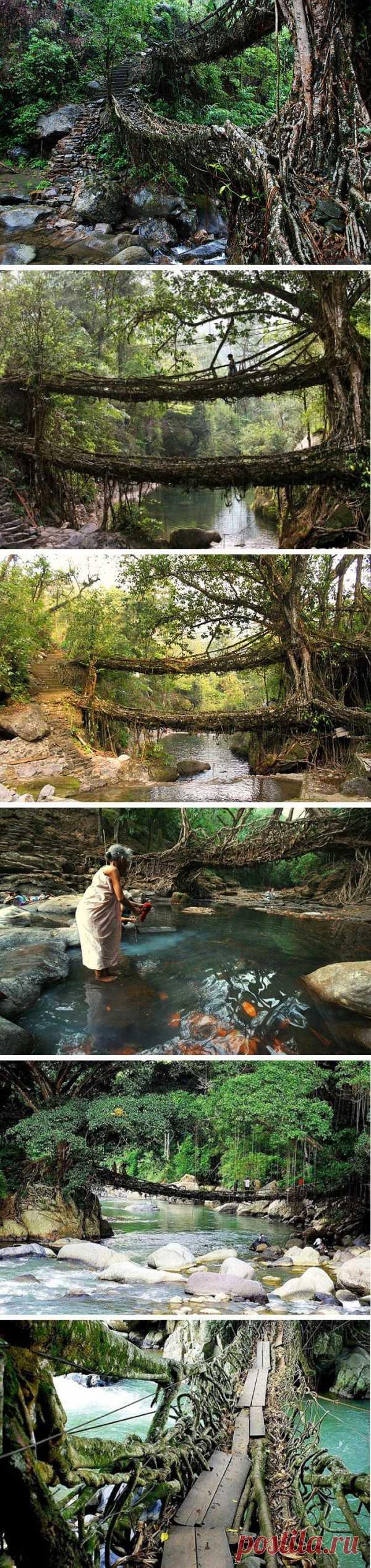 Мосты выращенные природой. Черапунджи, Индия