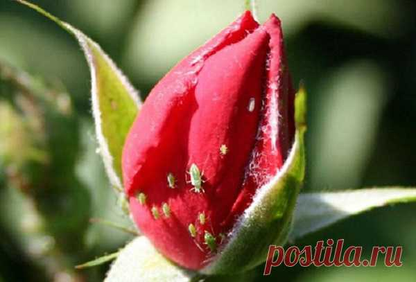 Iodine and milk banished a plant louse from my roses once and for all …  \u000d\u000aI found also to a plant louse a justice. It will be necessary for fight against it for you: spray or 2-liter bottle … Iodine and milk banished a plant louse from my roses the Plant louse, perhaps, the most disgusting and hardy wrecker who can …
