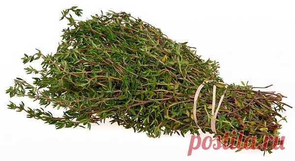 Чабрец (тимьян): лечебные свойства и противопоказания, как использовать