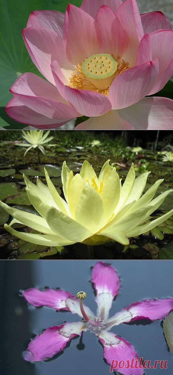 Самые красивые цветы на воде