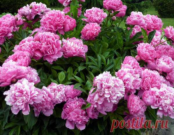 Почему не цветут пионы | Любимый огород | Яндекс Дзен