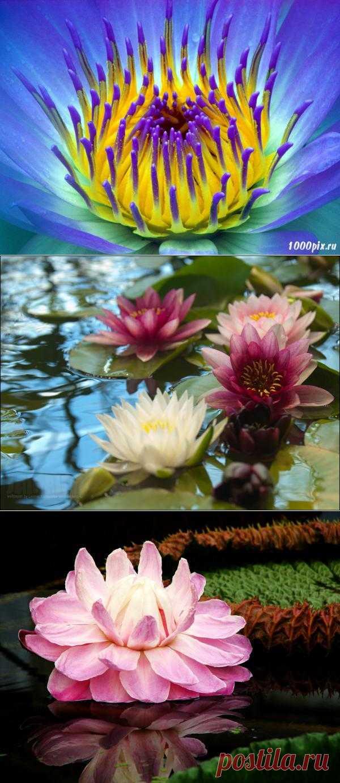 Необыкновенный водный цветок лилия