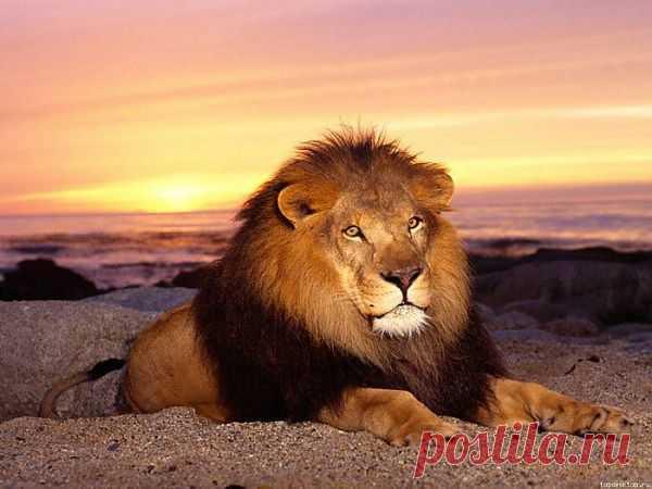 Львы. Взрослые львы-самцы отличаются наличием гривы и выглядят намного крупнее львиц. Лев считается взрослым в 5 лет и к этому моменту набирает свой оптимальный «боевой» размер. Самцы весят обычно от 150 до 225 или 250 кг, в среднем — 188 кг. Длина тела самца без хвоста — в среднем 170—250 см (по другим данным — 180—240 см), хвост — 90-105 см, высота в холке — около 123 см. Львы обитают в степях и саваннах и охотятся на животных среднего и крупного размера, в первую очередь, на копытных.