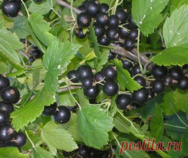 Смородина: омолаживаем кусты, для обильного урожая!