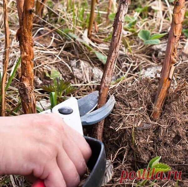 Двойная обрезка малины утраивает урожай   ❀ Все растет ❀   Яндекс Дзен