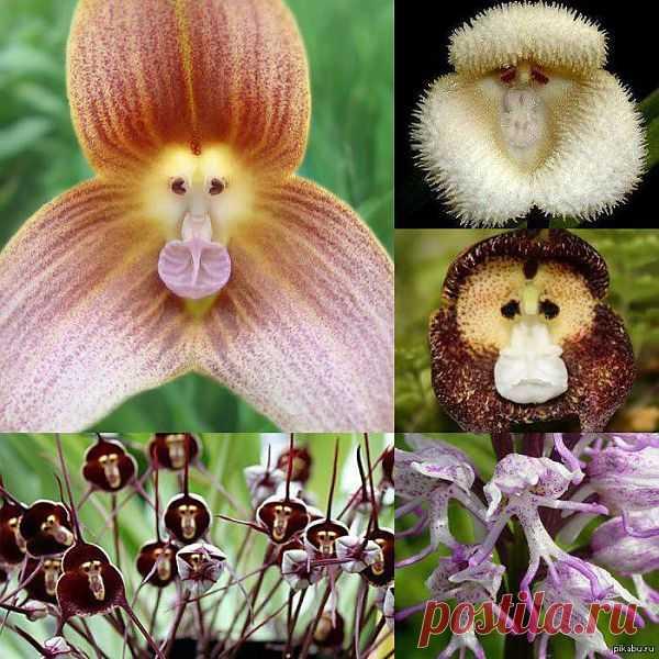 Улыбка природы: орхидеи с мордочкой обезьяны. Разновидности