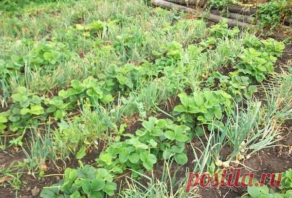 Три урожая с грядки, или как получить с участка максимум  Есть специальные комбинации овощей, позволяющие собирать с грядки максимальный урожай, чередуя и уплотняя культуры.   Земляника – чеснок – морковь Землянику (некоторые ее называют клубникой) сажают о…
