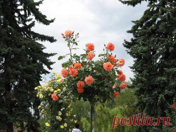 Штамбовые розы: выбор саженцев, посадка и уход