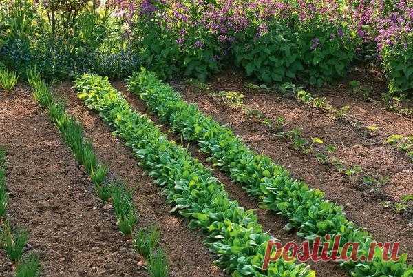 Выращивание шпината: польза, выбор сорта. Чем заменить шпинат