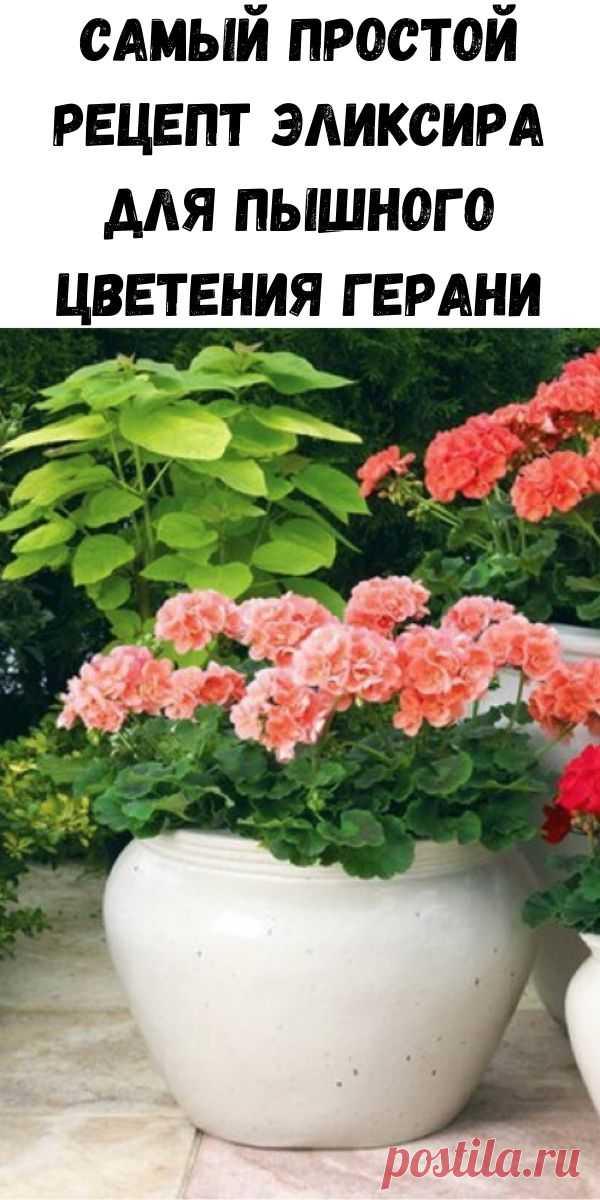 Самый простой рецепт эликсира для пышного цветения герани - Полезные советы красоты