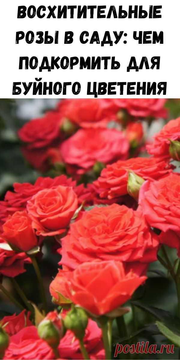 Восхитительные розы в саду: чем подкормить для буйного цветения - Полезные советы красоты