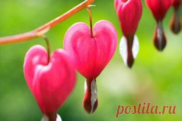 """АртПостерГалерея — Постеры на стену / Постеры цветы / Разные цветы — Дицентра- цветок """"разбитое сердце"""""""""""
