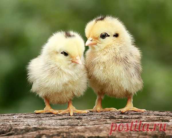 Нежные и трогательные цыплятки