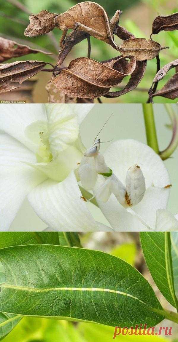 Los insectos-expertos por el camuflaje: listohvostyy gekon, orhideynyy el mántido y otros maestros del disfraz