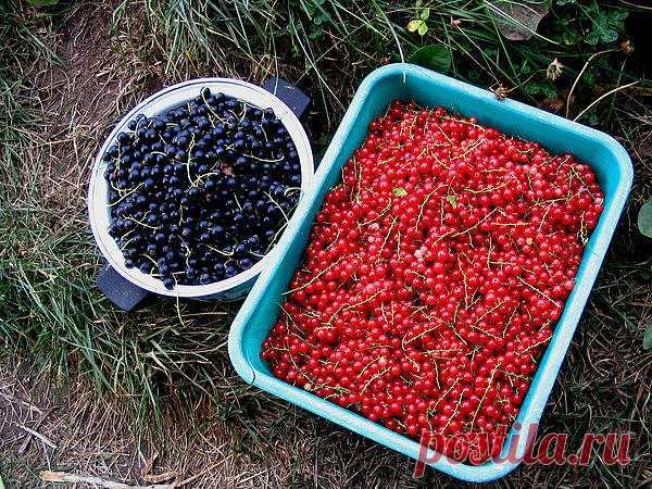 Хотите много смородины? Не знаете, чем подкормить смородину, чтобы получить богатый урожай? Все очень просто. Насушите картофельных очисток.  Очистки от картофеля – богатый источник крахмала, который так нужен смородине. От него ее ягоды вырастают до размера вишни.  Поэтому возьмите за правило не выбрасывать картофельную кожуру, а собирать, сушить и хранить до нужных времен.  Кстати, очистки отлично сохнут на батарее или просто разложенные в один слой на подоконнике. Храни...