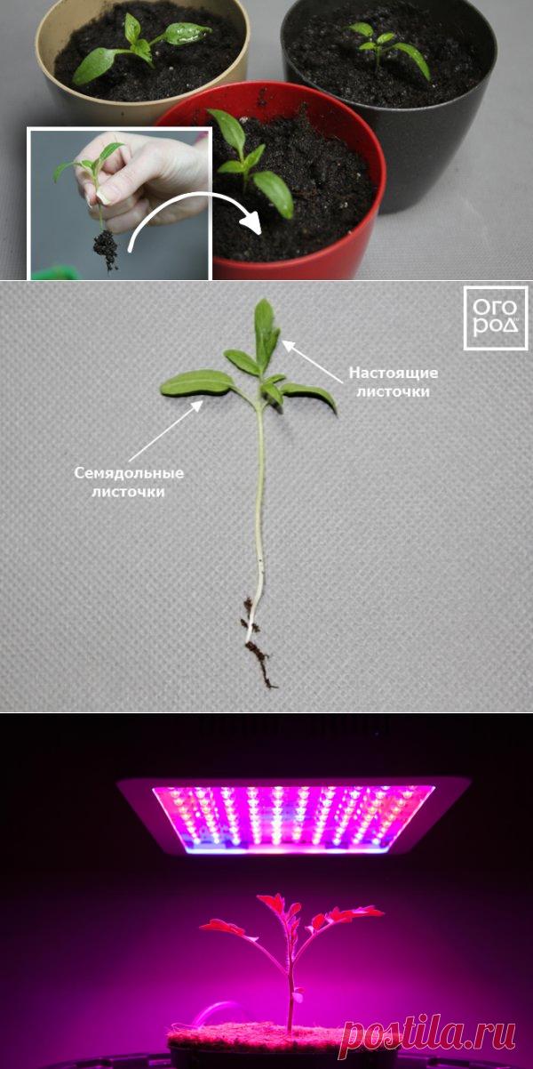 Пикировка рассады – что это такое и зачем она нужна? | На грядке (Огород.ru)
